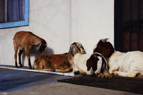 Goats on the porch